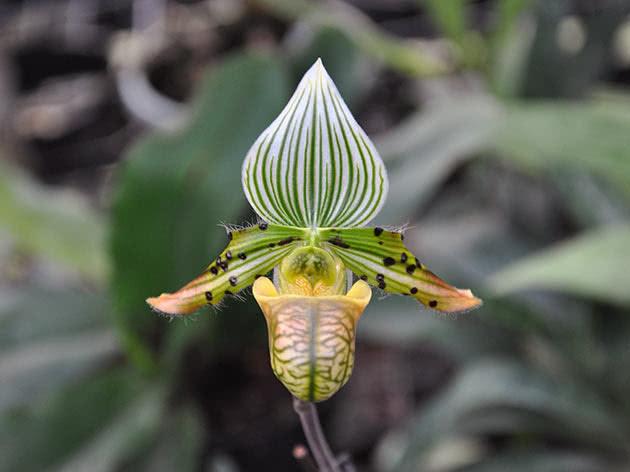 Пафіопеділум чарівний (Paphiopedilum venustum)