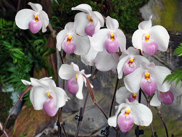 Пафіопеділум Деленаті (Paphiopedilum delenatii)