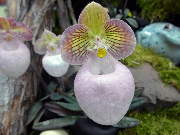 Пафіопеділум дрібноцвітний (Paphiopedilum micranthum)