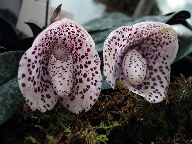 Пафіопеділум гарненький (Paphiopedilum bellatulum)