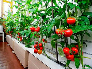 Обрезка пасынков у томатов