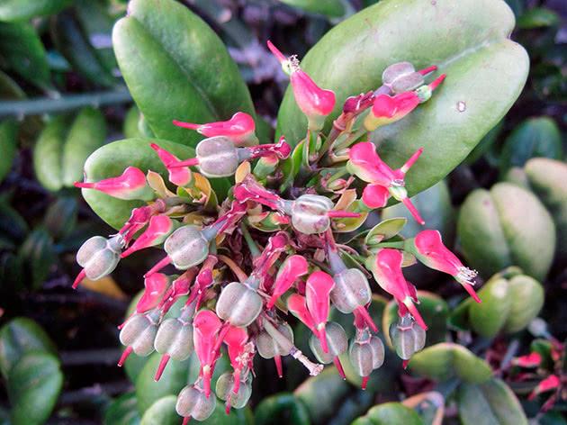 Педілантус тітімалоїдний (Pedilanthus tithymaloides)