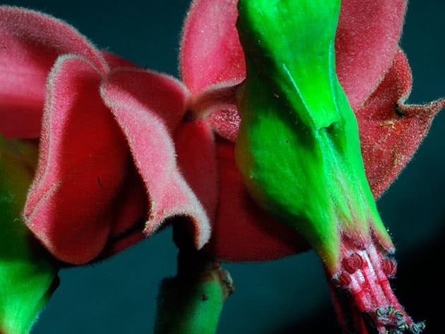 Педілантус коалкоманенський (Pedilanthus coalcomanensis)