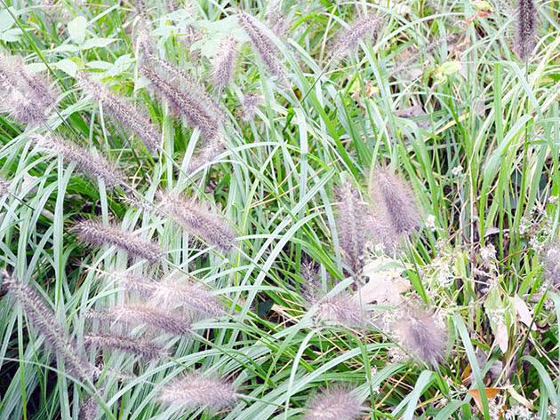 Пеннисетум лисохвостный (лисохвостовый) (Pennisetum alopecuroides)