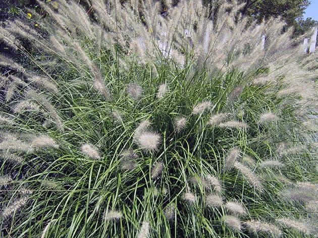 Пеннісетум східний (Pennisetum orientale)