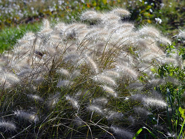 Пеннісетум волохатий (Pennisetum villosum)
