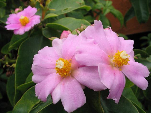 Пейрескія великоквіткова (Pereskia grandiflora)