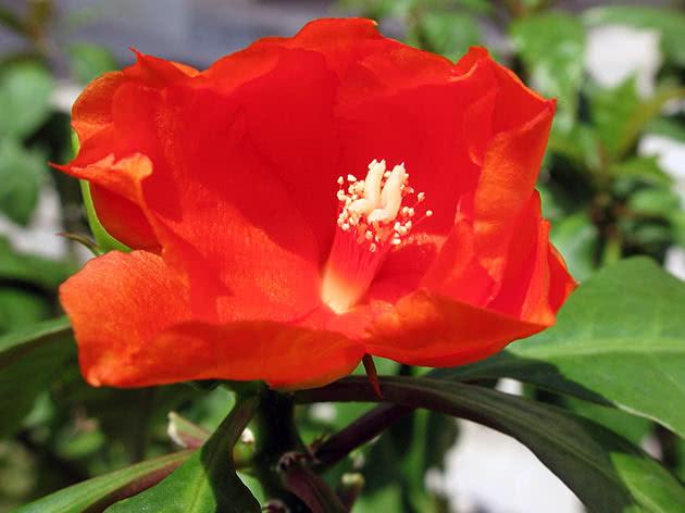 Пейрескія помаранчева (Pereskia bleo)