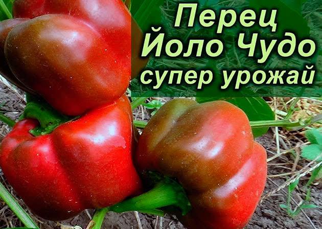 Болгарський перець Іоло-чудо
