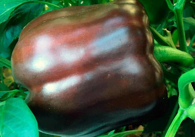 Болгарський перець Солодкий шоколад