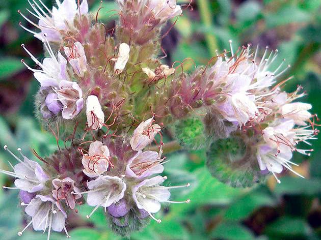 Фацелія срібляста (Phacelia argentea)