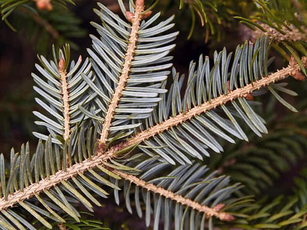 Ялина аянська (Picea ajanensis)