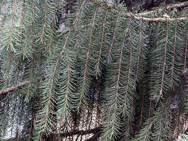Ялина Бревера (Picea breweriana)