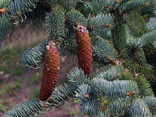 Ялина корейська (Picea koraiensis)