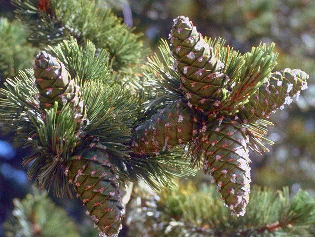 Сосна м'яка (Pinus flexilis)