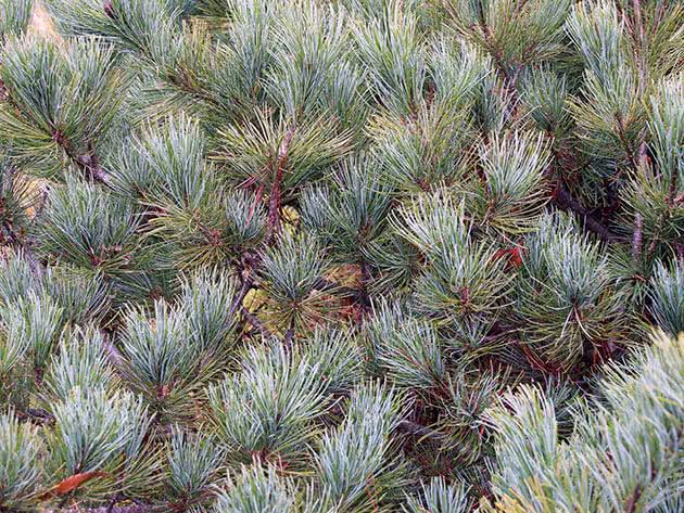 Сосна кедрова сланикова (Pinus pumila)