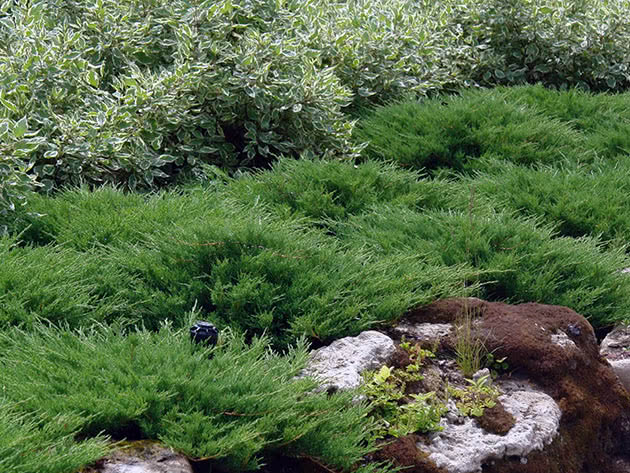 Вирощування ґрунтопокривних рослин