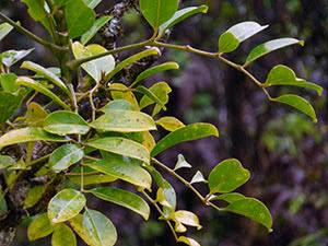 Растение полисциас: уход в домашних условиях
