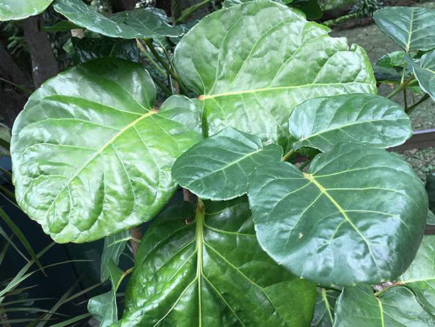 Полисциас кустарниковый (Polyscias fruticosa)