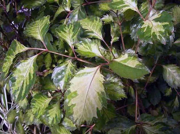 Полисциас метельчатый (Polyscias paniculata)
