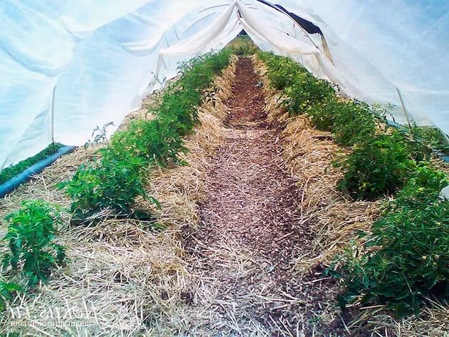 Пізні томати в теплиці