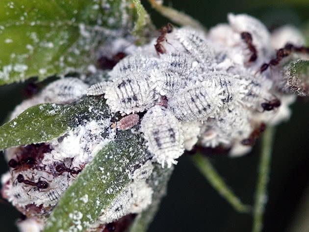 Засоби боротьби з борошнистим червцем на кімнатних квітах