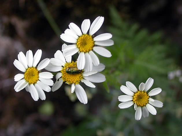 Піретрум щиткоподібний (Pyrethrum corymbosum = Chrysanthemum corymbosum = Tanacetum corymbosum)