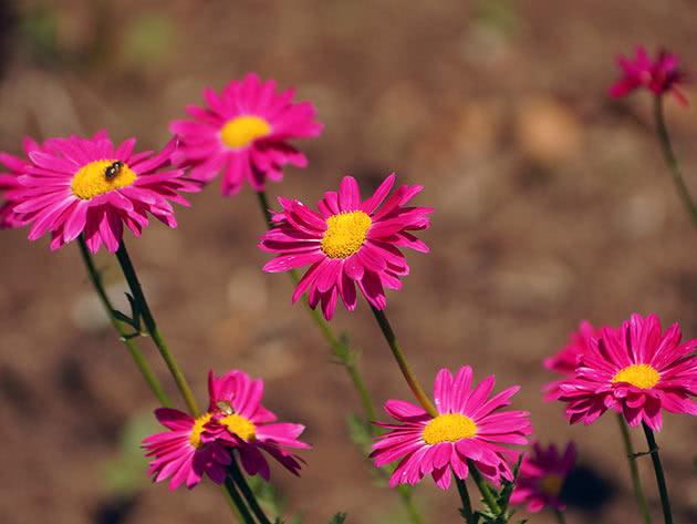 Піретрум червоний (Pyrethrum coccineum = Chrysanthemum coccineum)