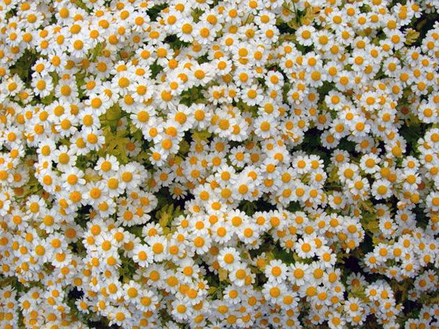 Піретрум дівочий (Pyrethrum parthenium = Chrysanthemum parthenium = Tanacetum parthenium)