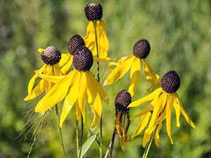 Квітка ратібіда: посадка і догляд