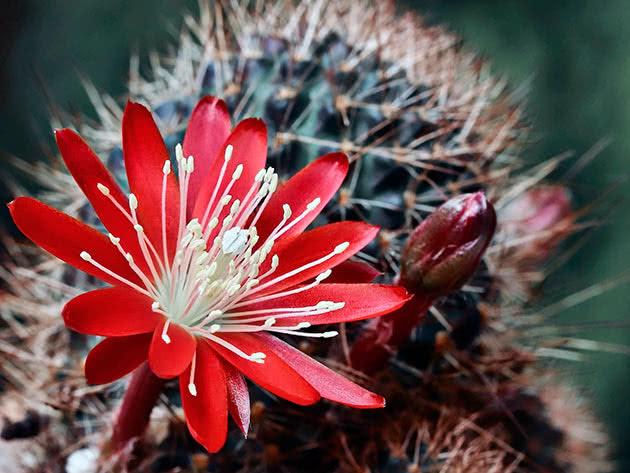 Ребуция фулвизета (Rebutia fulviseta)