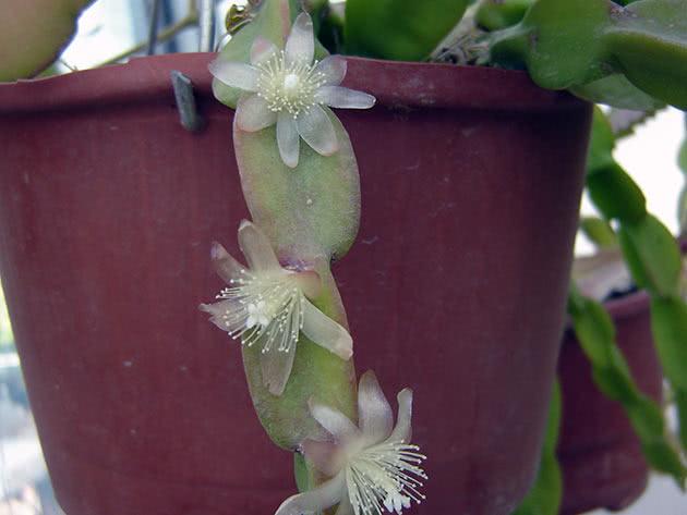 Рипсаліс дивний (Rhipsalis paradoxa)