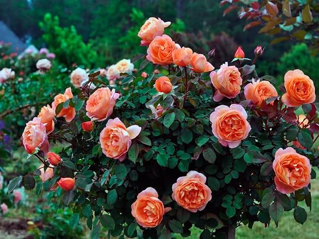Чайна троянда в саду