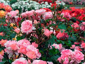 Выращивание розы на участке