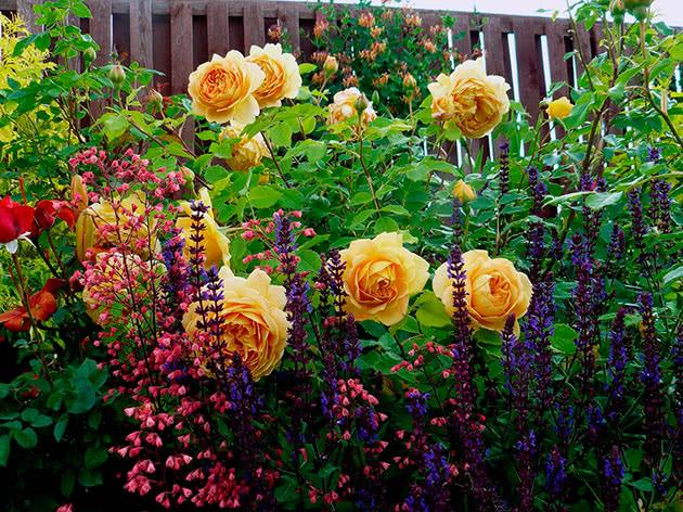 Выращивание роз на клумбе