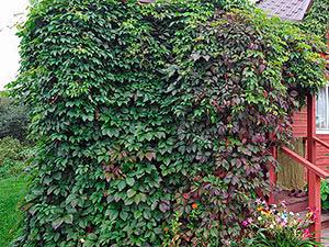 Садовые лианы