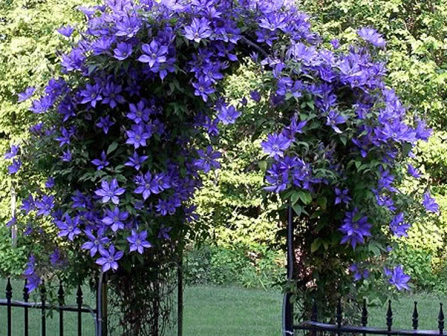 Цвітіння клематисів