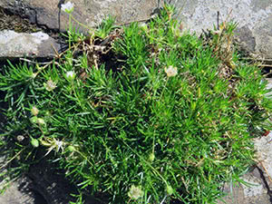Растение мшанка: посадка и уход