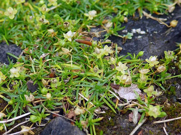 Моховинка лежача (Sagina procumbens)
