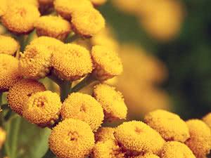 Растение сантолина – выращивание в саду
