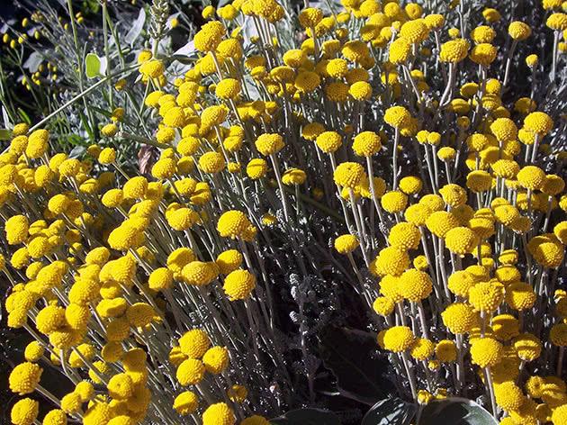 Как цветет сантолина в саду