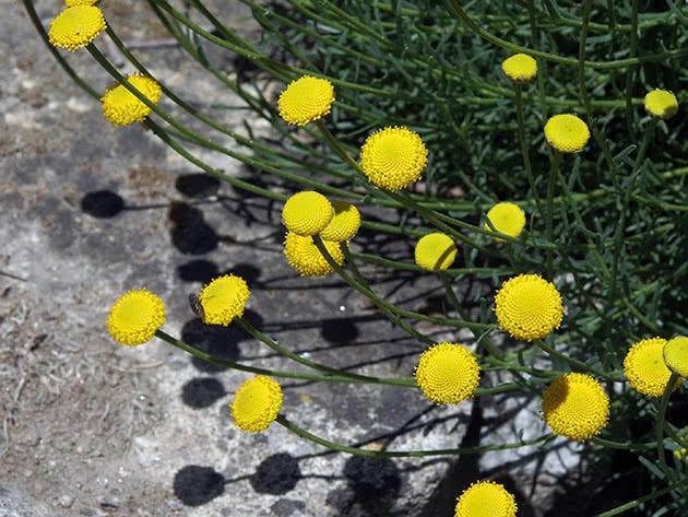 Сантолина зеленоватая, или зеленеющая (Santolina virens)