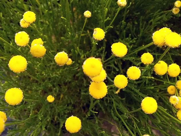Сантолина розмаринолистная (Santolina rosmarinifolia)
