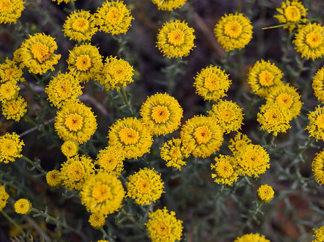Сантолина кипарисовидная (Santolina chamaecyparissus)
