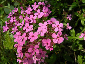 Квітка мильнянка: посадка і догляд