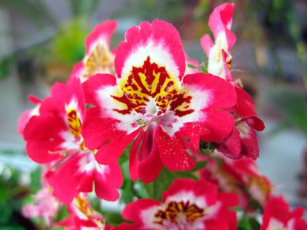 Квітка схизантус
