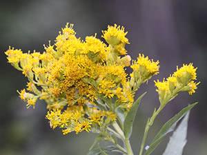 Трава золотарник: посадка и уход