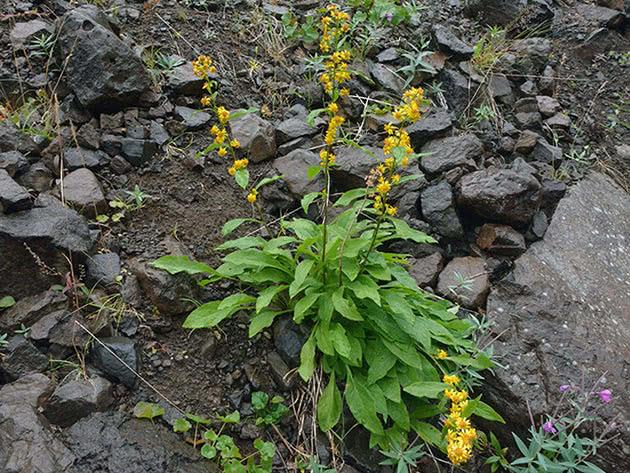 Золотушник даурський (Solidago dahurica = Solidago virgaurea var. dahurica)