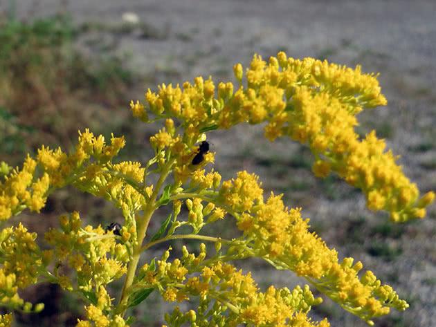 Золотушник канадський (Solidago canadensis = Solidago canadensis var. canadensis)