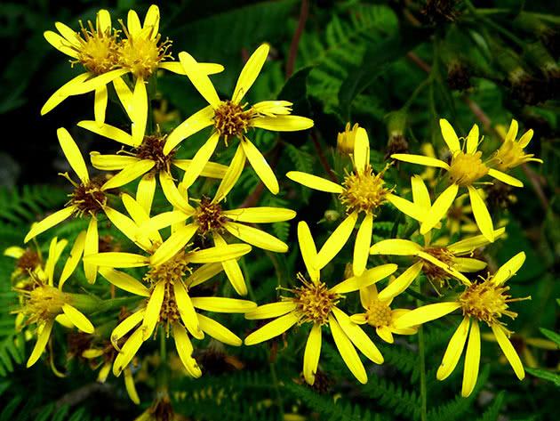 Золотушник звичайний (Solidago virgaurea)